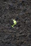 Bean seedling Royalty Free Stock Image