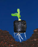 Bean Seedling Planting. Young bean plant seedling in peat pellet ready to be planted into prepared hole in the earth Royalty Free Stock Images