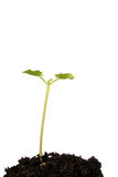 Bean seedling in soil. Young bean seedling in soil against white Stock Photo