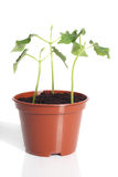 Bean seedlings. Young bean seedlings in flower pot, isolated on white background Royalty Free Stock Image