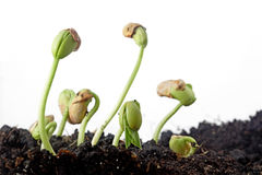 Bean seeds germination Royalty Free Stock Photos