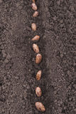 Bean seeds in the ground. Royalty Free Stock Photo