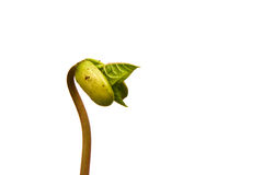 Bean Sprout Stock Images