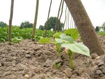 Bean Sprouts royaltyfri foto