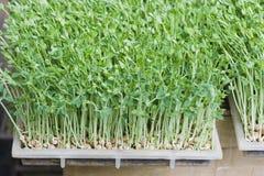 Bean Sprouts Stock Photos