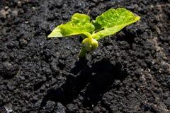 The bean sprouts in the garden. In the spring garden Stock Photos