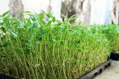 Bean sprouts. stock photos