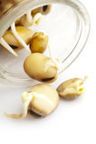 Bean Sprouts. Isolated on white background stock image
