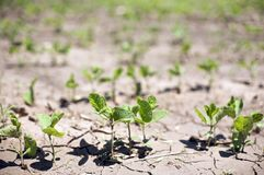 Bean Sprouts in a row. Near drought conditions challenge spring crops stock image