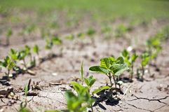Bean Sprouts in row crops struggle in drought Royalty Free Stock Photography