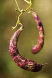 Bean stalk Stock Photos
