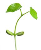 Bean Stalk Royalty Free Stock Image