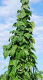 Bean vine tends to the sky Stock Image