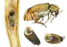 Bean weevil or seed beetle stock image