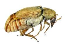 Bean weevil or seed beetle royalty free stock image