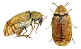 Bean weevil or seed beetle stock images