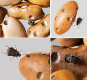 Bean weevils with damaged beans. Royalty Free Stock Photos