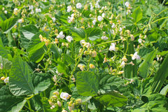 Beans blossom in garden Royalty Free Stock Images