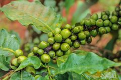 Beans of coffee tree Stock Images