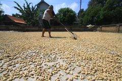 Beans Drying Process Stock Photo