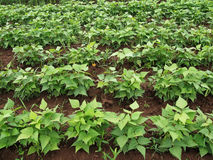 Beans field Stock Image