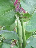 Beans - Garden - Gardening - organic food Royalty Free Stock Photo