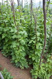 Beans growing in small village up in the mountains. Burma Royalty Free Stock Photo