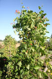 Beans growing on vine. Beans growing on a vine in a garden Royalty Free Stock Images