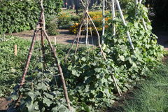 Beans growing on vine. Beans growing on a vine in a garden Stock Photo