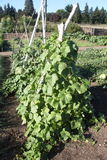 Beans growing on vine. Beans growing on a vine in a garden Stock Images