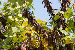 Beans of judas tree Stock Images