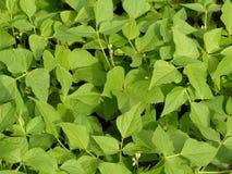 Beans organic garden Stock Photography