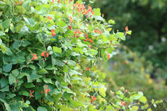Beans plants flowers Royalty Free Stock Images