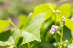 Beans plants and flowers as very nice natural background stock photo