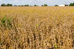 Beans Ready for Harvest. Soybean field ready for harvest; barn, trees, and cloudy sky in background in Illinois, USA stock photo