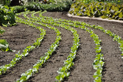 Beans on a row. Lines of beans in kitchen garden stock image