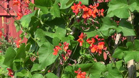 Beans vegetable blossoming in farm  near wooden house wall stock video