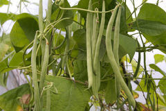 beans on the vine detail Stock Photography