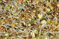 Beansprout Royalty Free Stock Images
