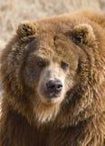 Bear. Close-up portrait of a Brown Bear, Ursus arctos royalty free stock photos