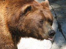 Bear. Head shot Stock Photo
