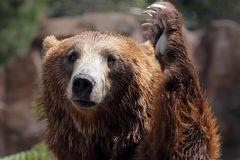 Bear. A funny portrait of a brown bear Royalty Free Stock Image