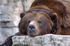 Bear. At the St. Louis Zoo royalty free stock images