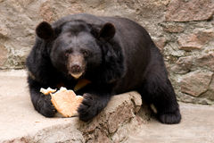 Bear. The big bear eats on a rock in a zoo Stock Images