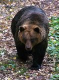 Bear. Brown Bear (Ursus arctos) walking in the woods Royalty Free Stock Image