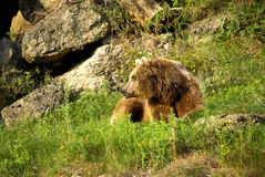 Bear. A brown bear sitting on the grass stock image