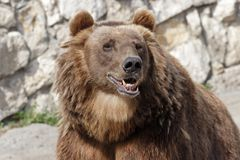 Bear. At the moscow zoo stock images