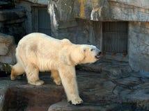 Bear. Polar bear Stock Photography