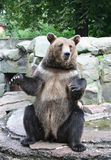 Bear. Brown bear seats on the back-paws, and want to eat Royalty Free Stock Images