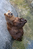 Bear. Brown bear with crossed arms Royalty Free Stock Images